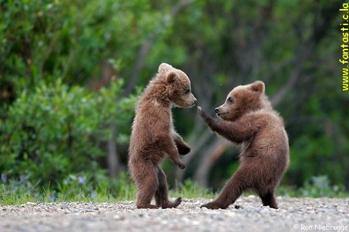 Funny Bear Fight Image
