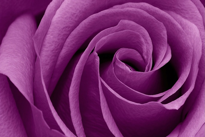 Purple Rose Picture for Fb Share