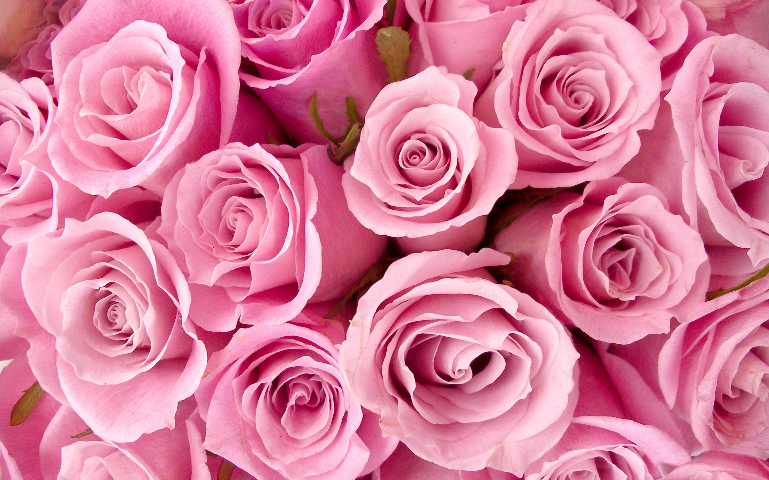 Special Pink Roses Picture for Fb Share