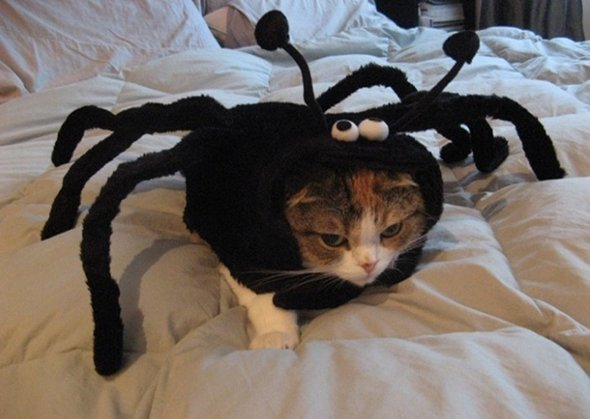 Funny Spider Cat on a Bad