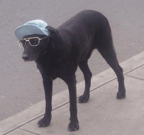 Funny Black Dog in Cap and Sunglass