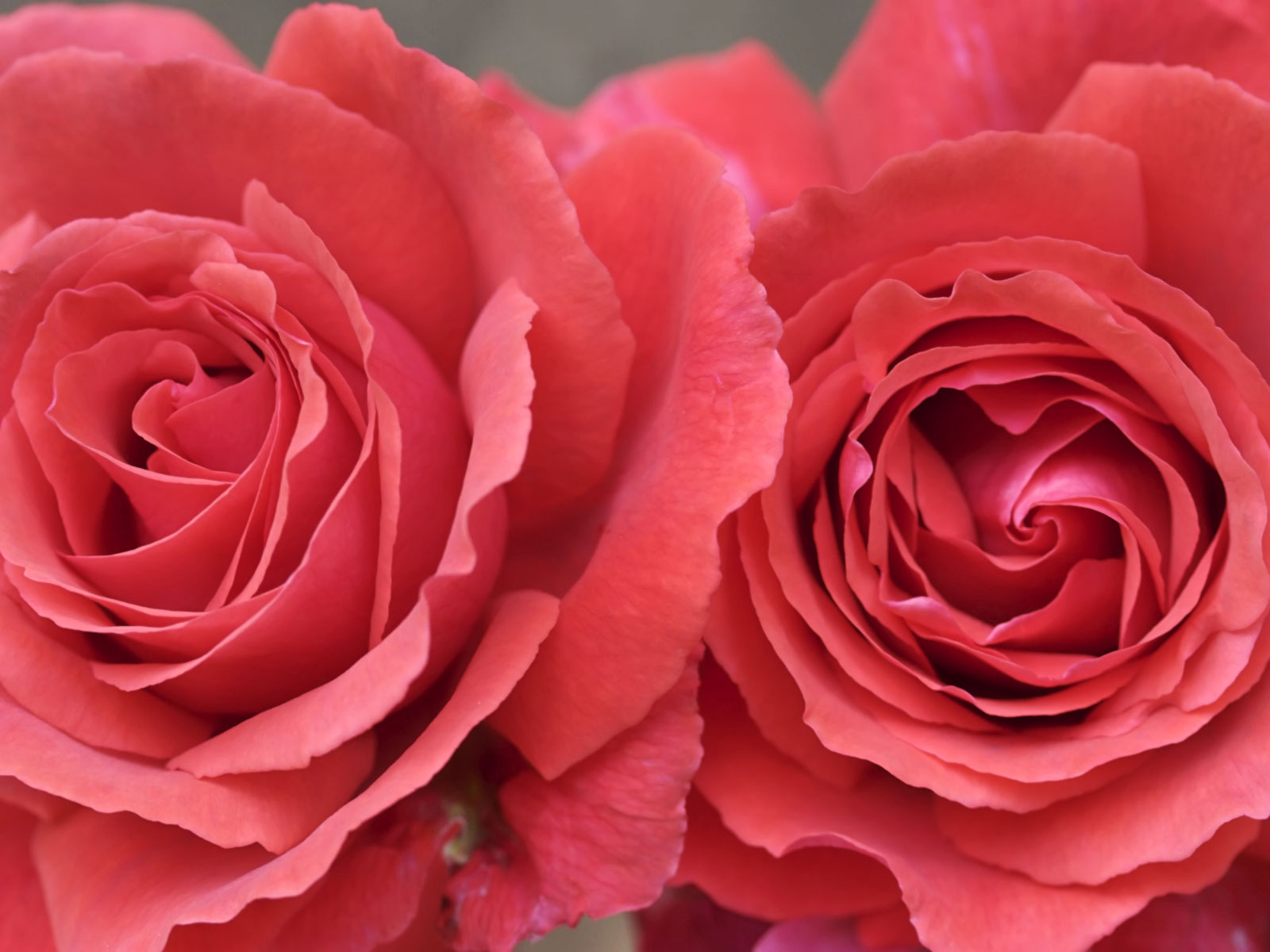 Two Big Roses Picture